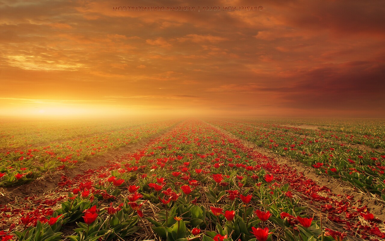 1280x800 flower fields nature 720p hd 4k wallpapers - Wallpapers 1280x800 nature ...
