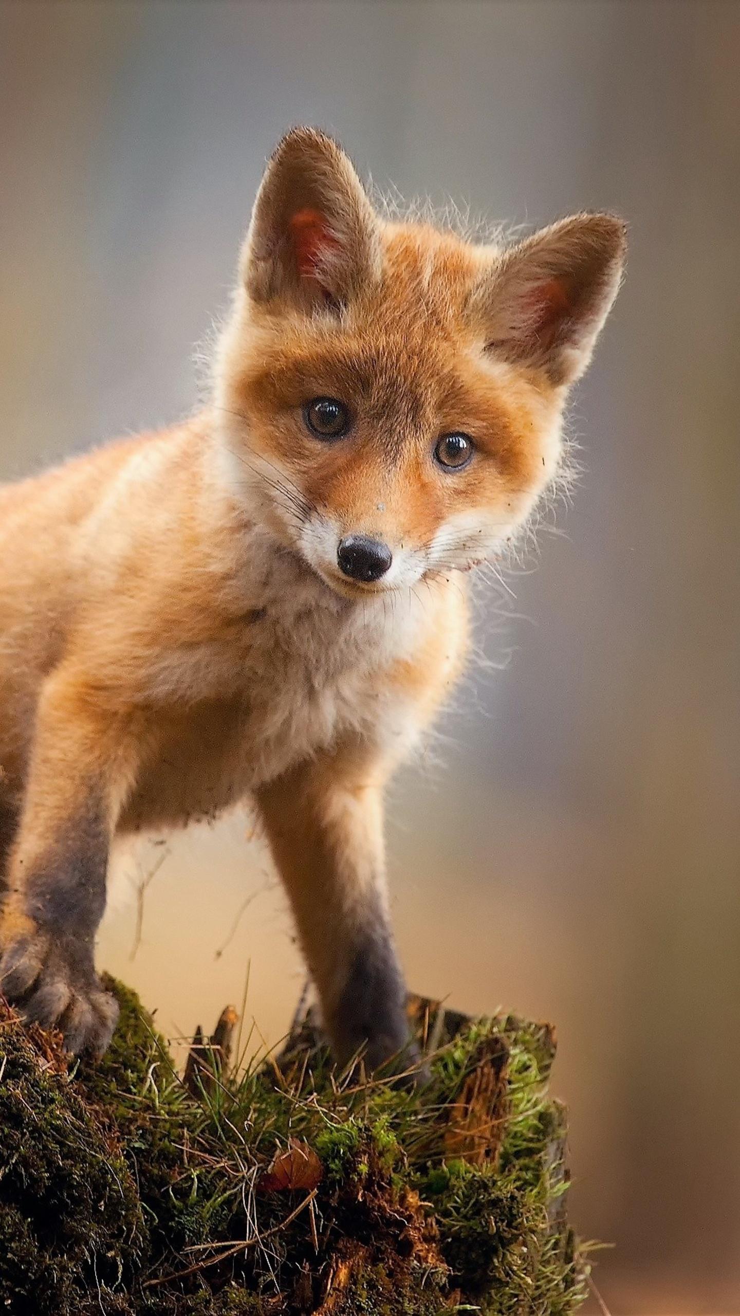 1440x2560 Fox Cub Baby Animal Cute Hd Samsung Galaxy S6,S7 ...
