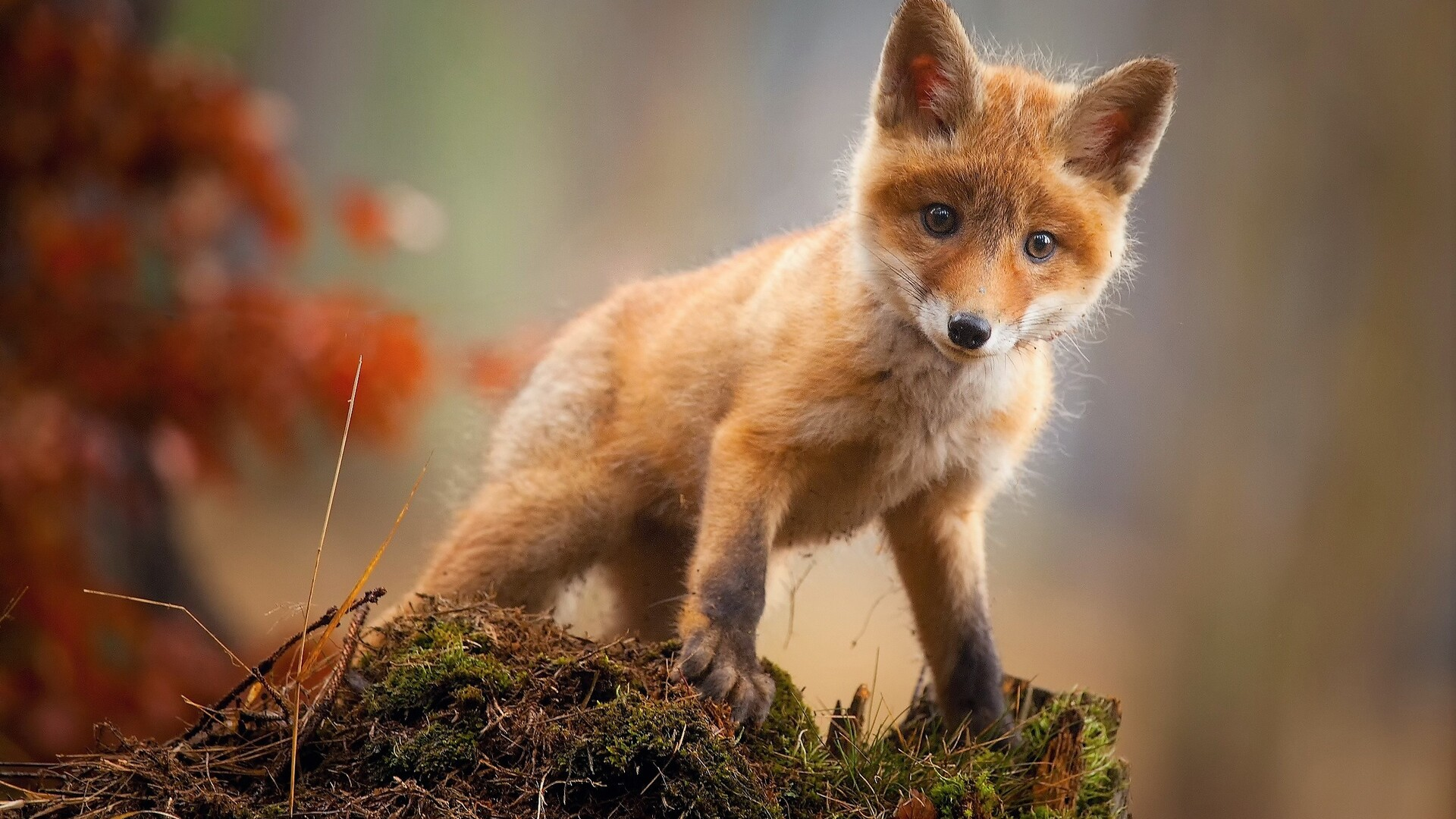 1920x1080 fox cub baby animal cute hd laptop full hd 1080p - Animal 1920x1080 ...