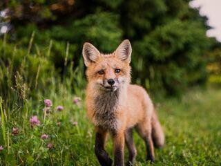 fox-looking-towards-camera-5k-ei.jpg