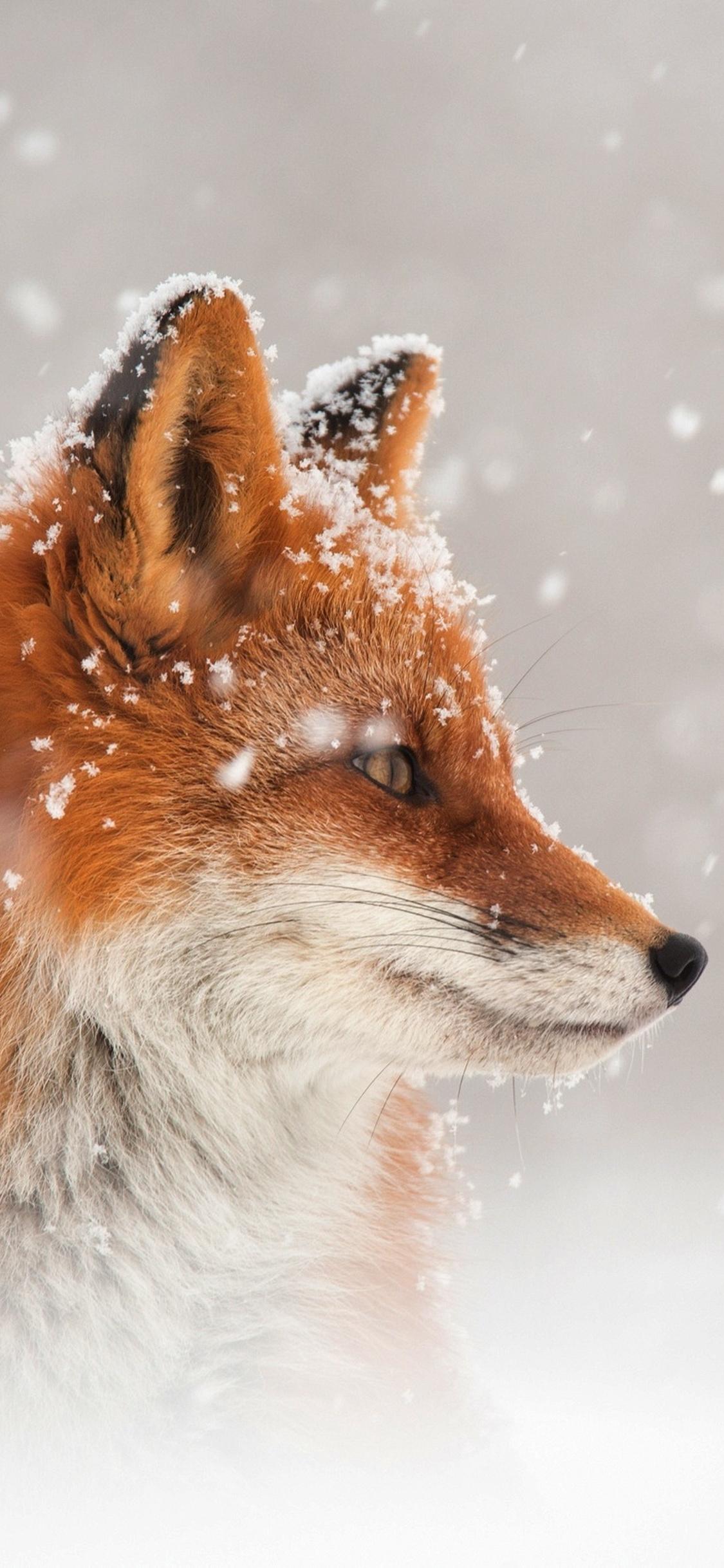 fox-snow-qi.jpg