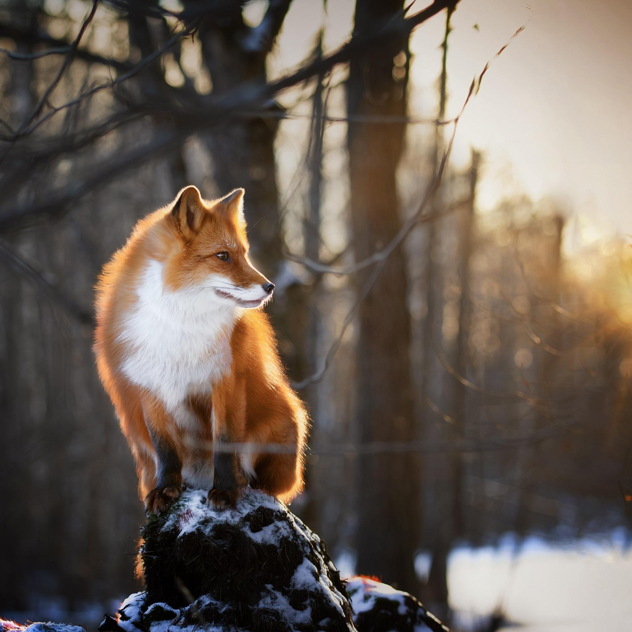 fox-winter-morning-1x.jpg