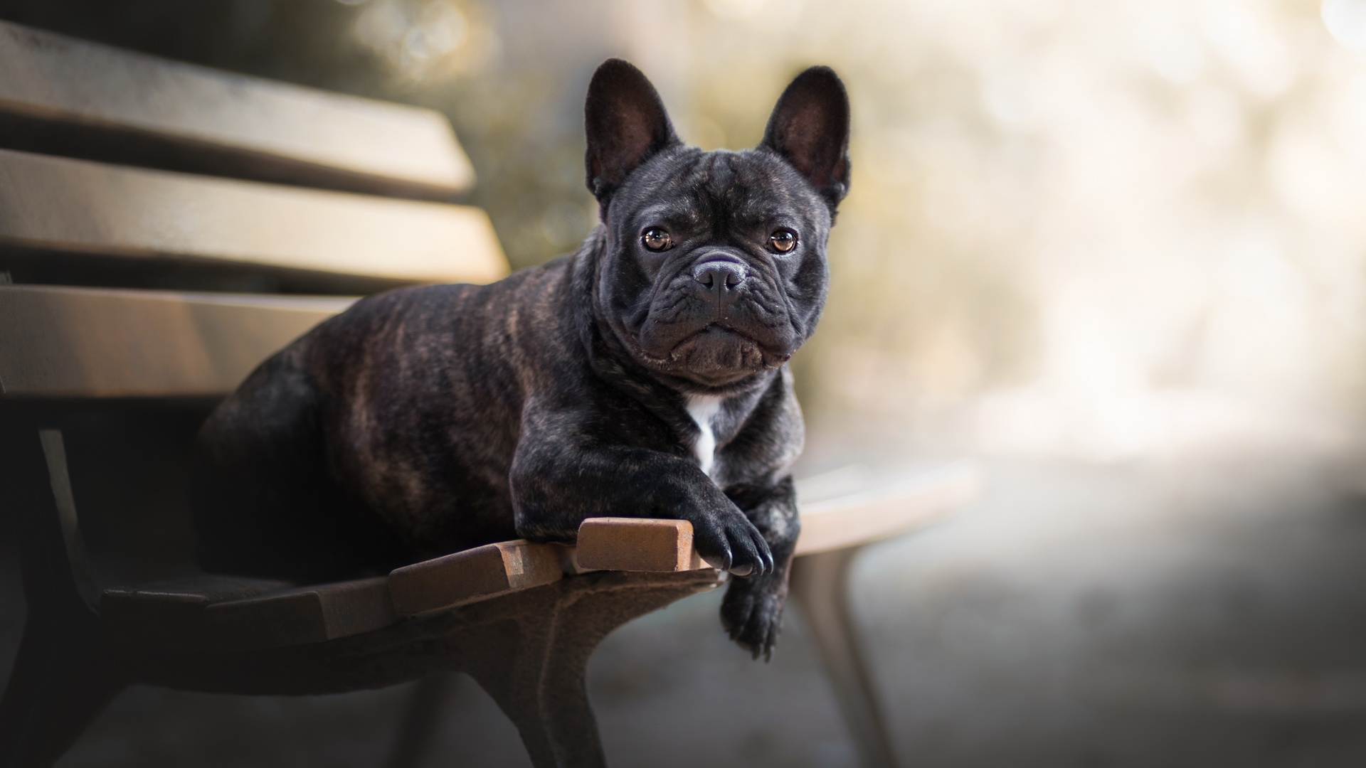 1920x1080 French Bulldog Laptop Full HD 1080P HD 4k ...