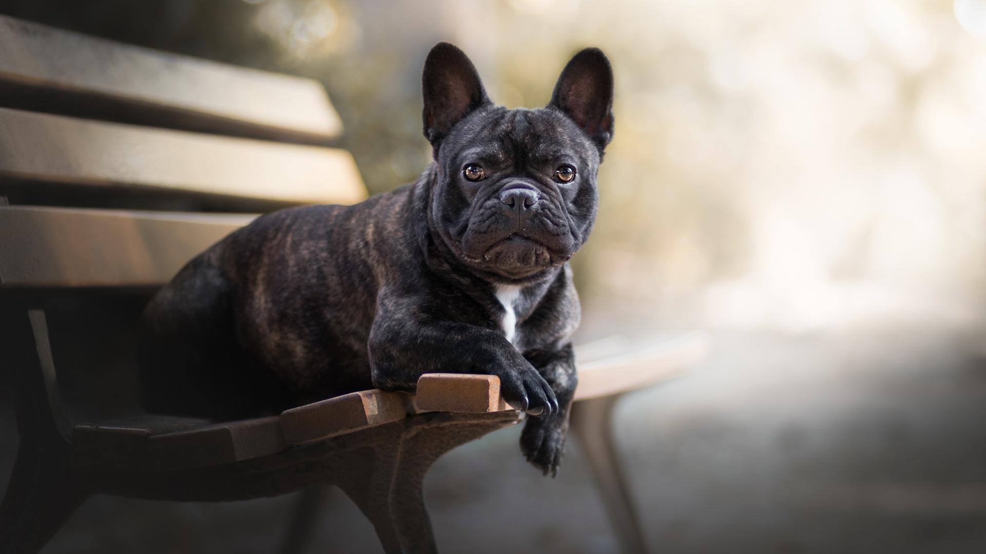 french-bulldog-3w.jpg