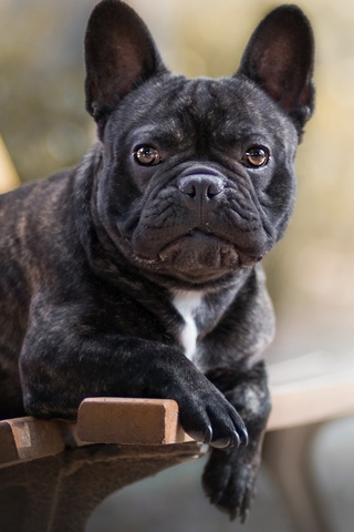 french-bulldog-3w.jpg