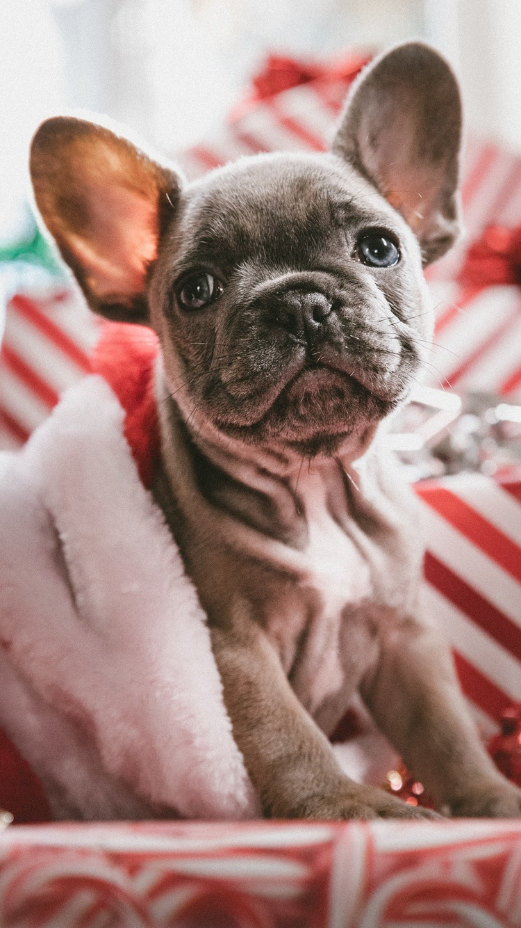 750x1334 French Bulldog Christmas Iphone 6 Iphone 6s