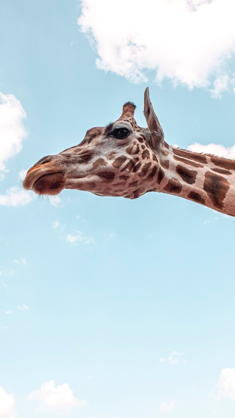 giraffe-under-blue-sky-5k-lu.jpg