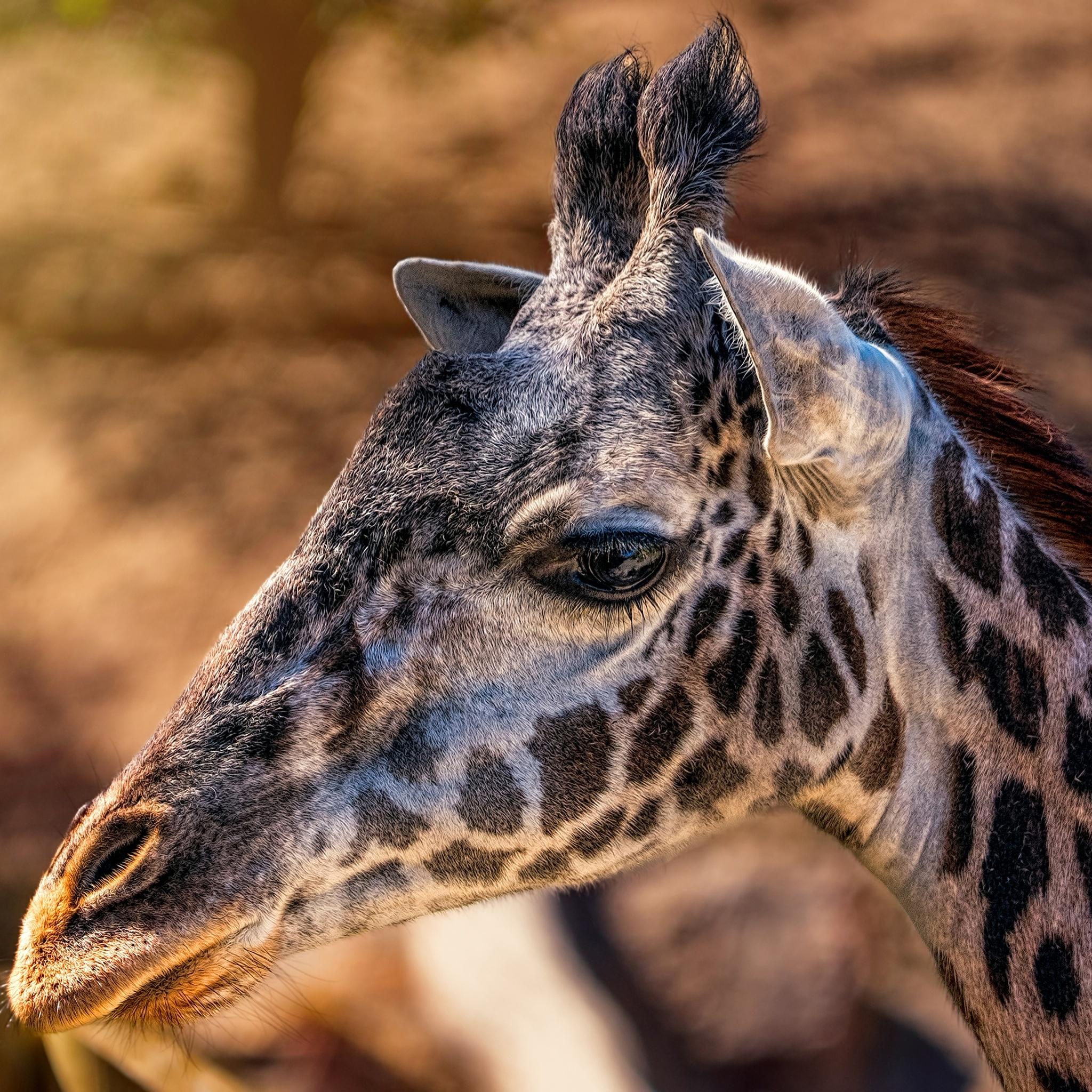 giraffes-head-closeup-4k-hp.jpg