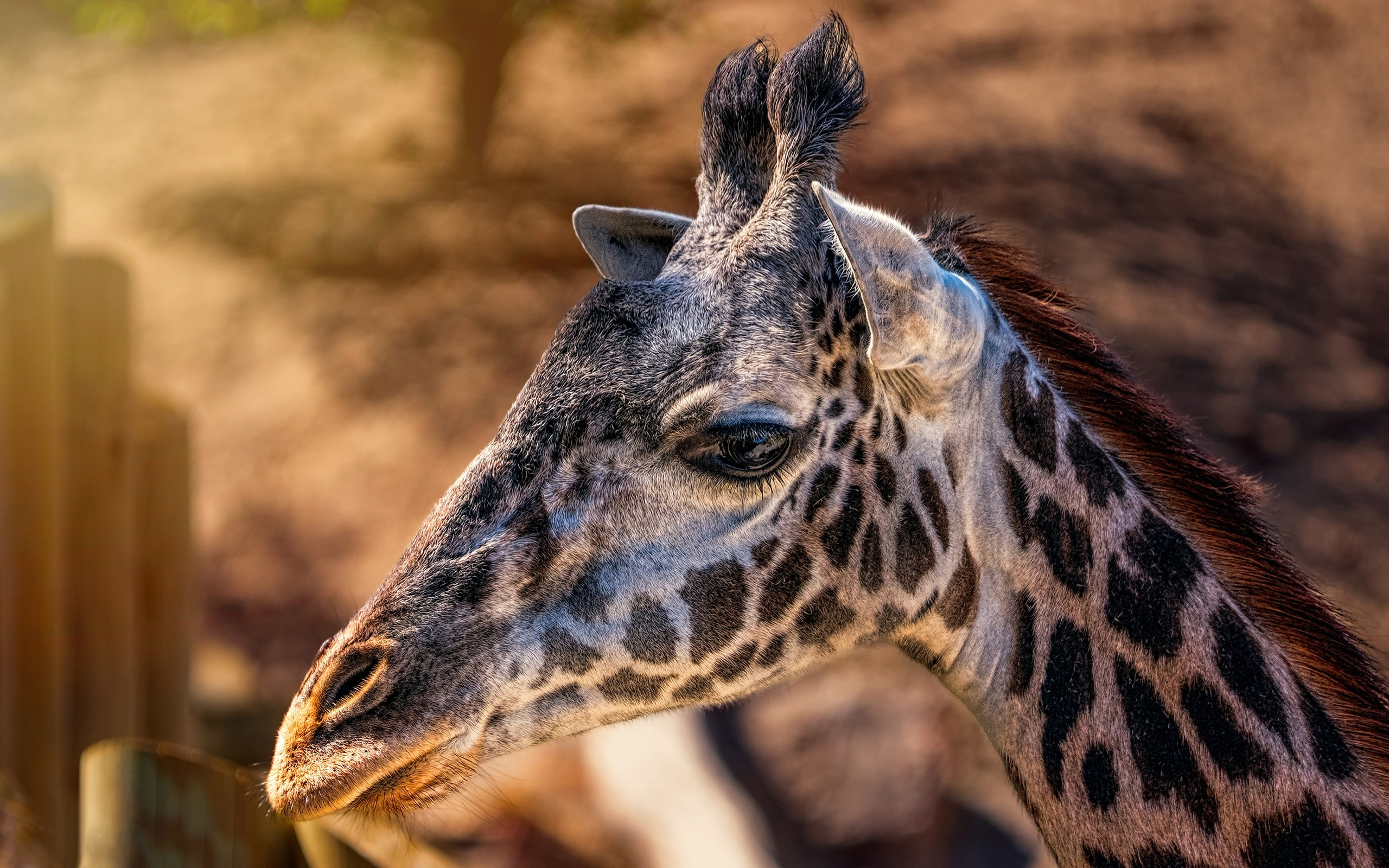 giraffes-head-closeup-4k-hp.jpg