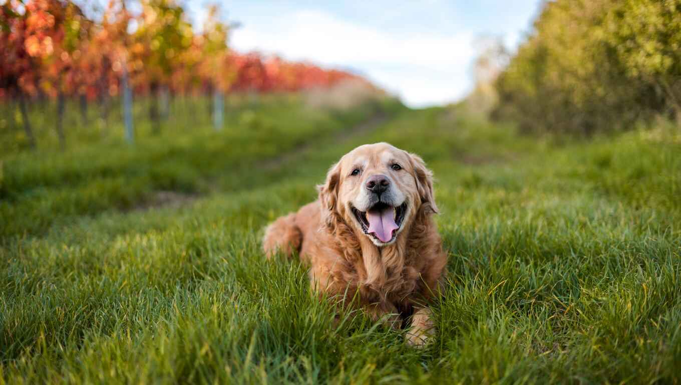 1360x768 Golden Retriever 5k Laptop Hd Hd 4k Wallpapers Images Backgrounds Photos And Pictures