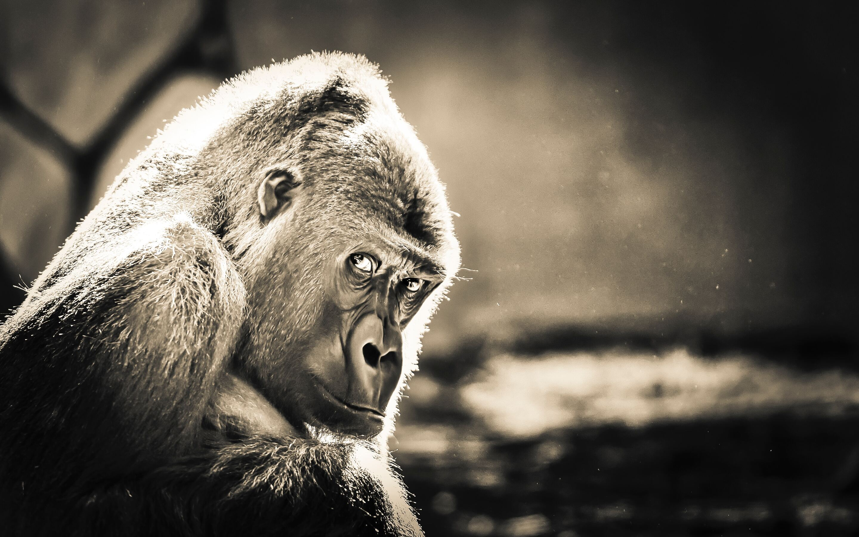 2880x1800 Gorilla Macbook Pro Retina Hd 4k Wallpapers