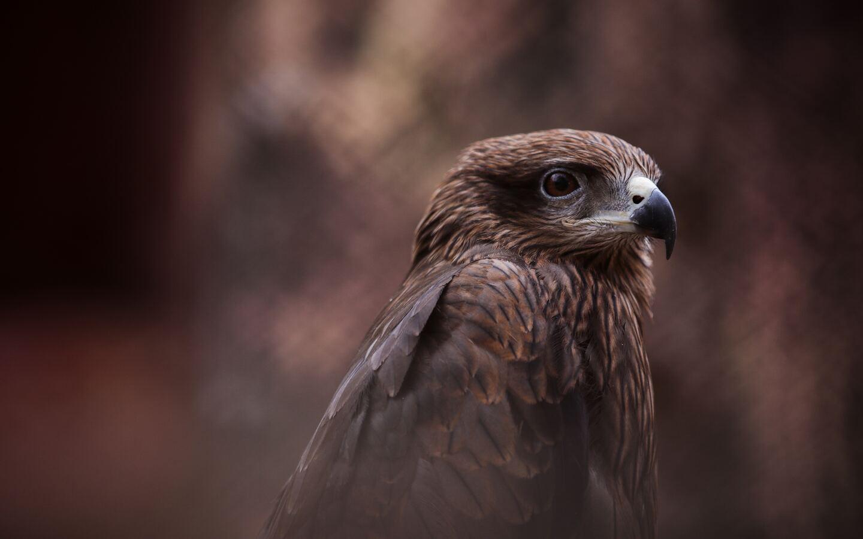 hawk-bird-of-prey-5k-t2.jpg