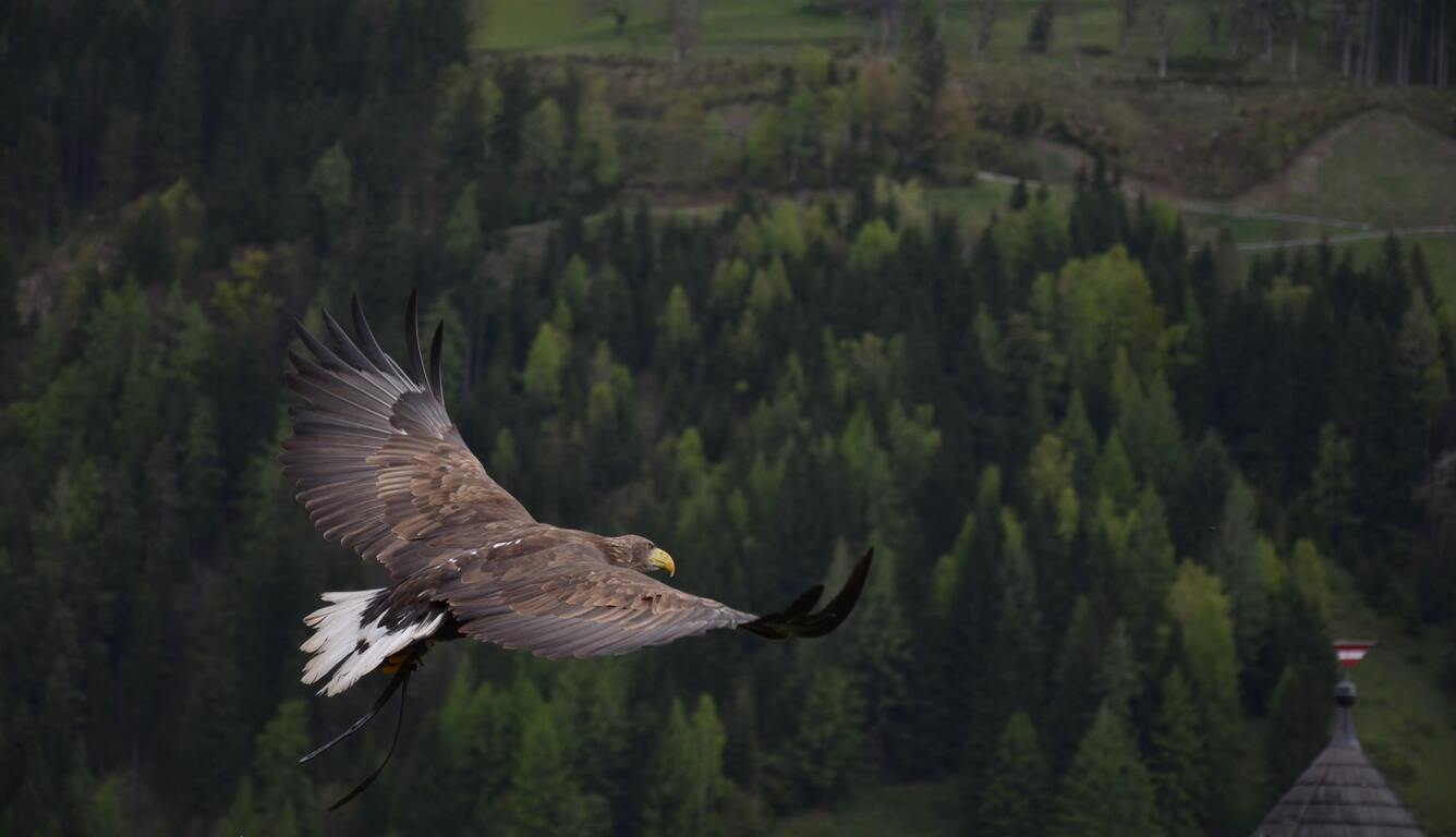 hawk-flight-bd.jpg