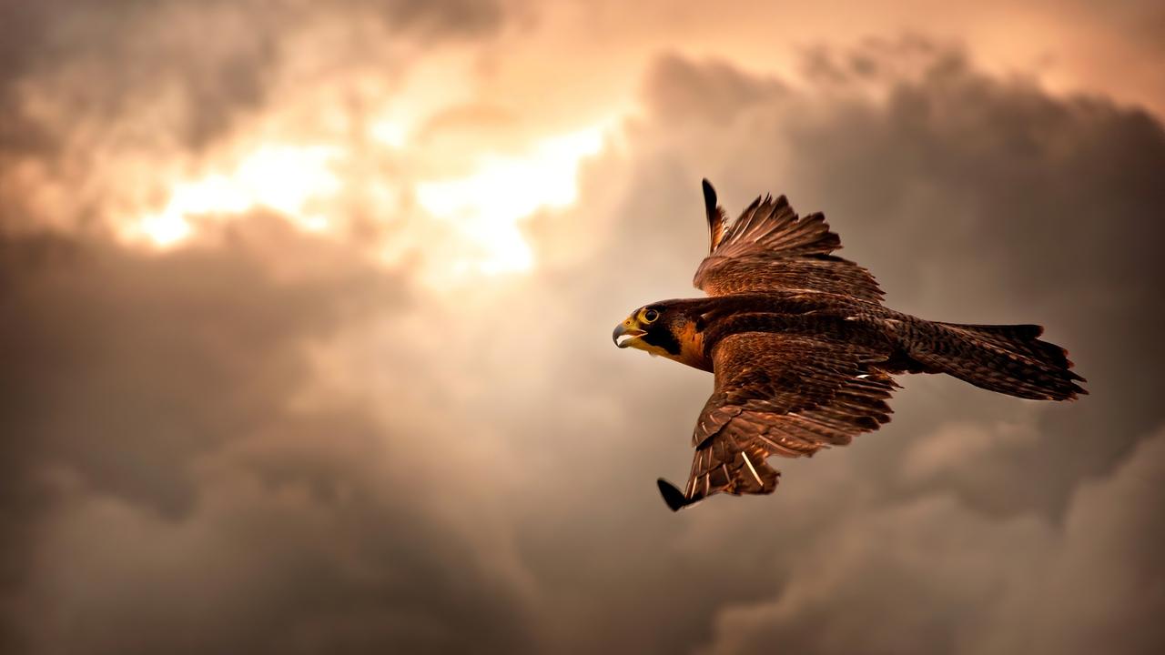 hawk-flying-in-sky-4k-az.jpg