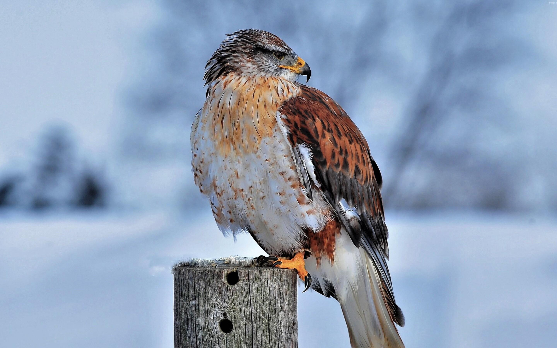 hawk-in-snow-4k-8x.jpg
