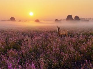 heathland-deer-4k-qr.jpg