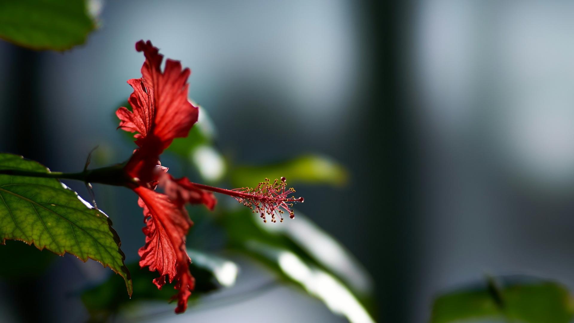 hibiscus-flower-ap.jpg