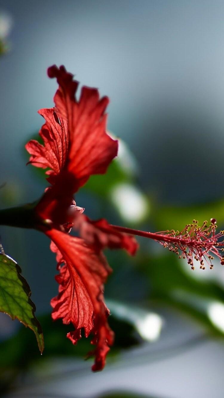 750x1334 Hibiscus Flower Iphone 6 Iphone 6s Iphone 7 Hd 4k