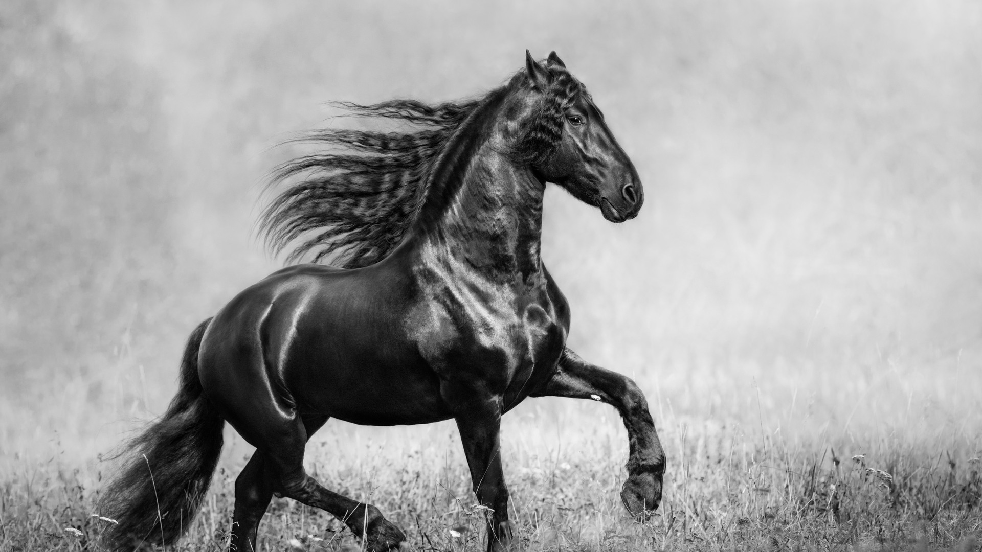 1920x1080 Horse Black And White Laptop Full Hd 1080p Hd 4k