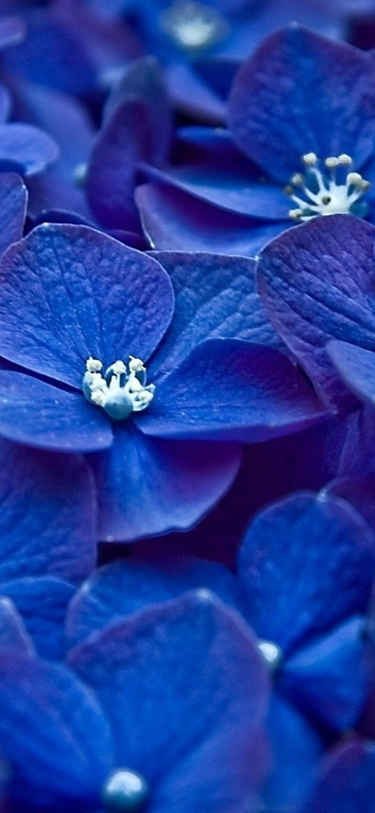 1242x2688 Hydrangea Blue Flower Iphone Xs Max Hd 4k