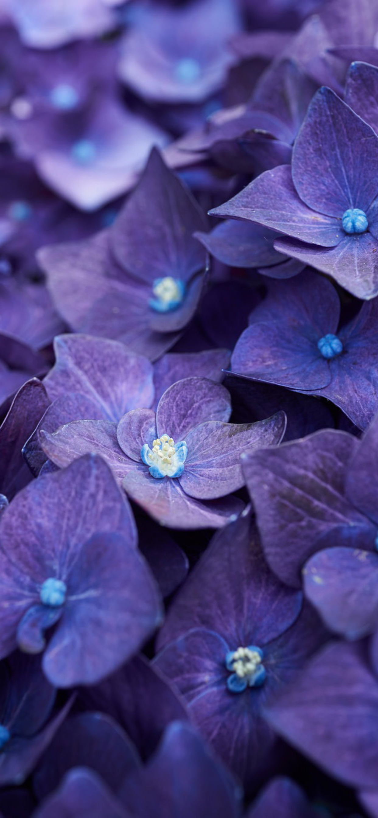 1242x2688 Hydrangea Violet Flowers Iphone Xs Max Hd 4k