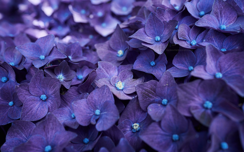 2880x1800 hydrangea violet flowers macbook pro retina hd 4k hydrangea violet flowers y8g izmirmasajfo