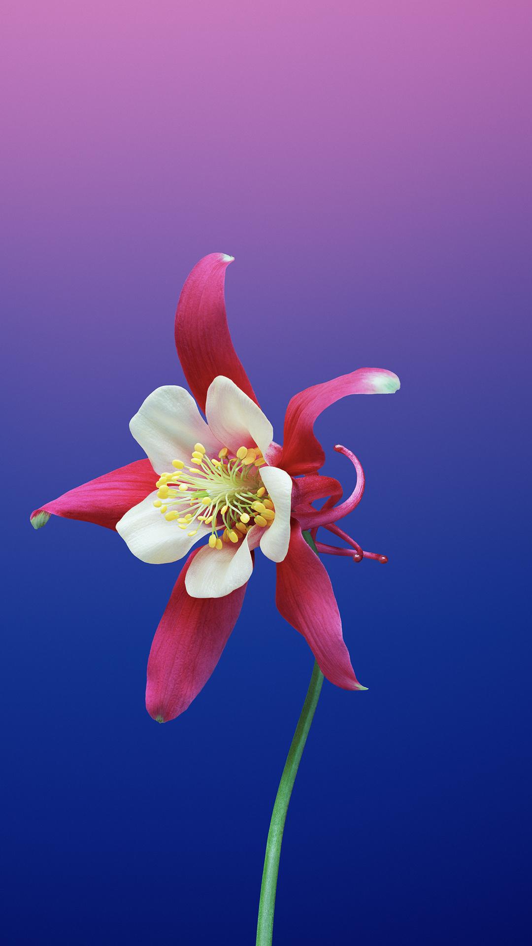 1080x1920 Ios 11 Flower Aquilegia Iphone 7,6s,6 Plus ...