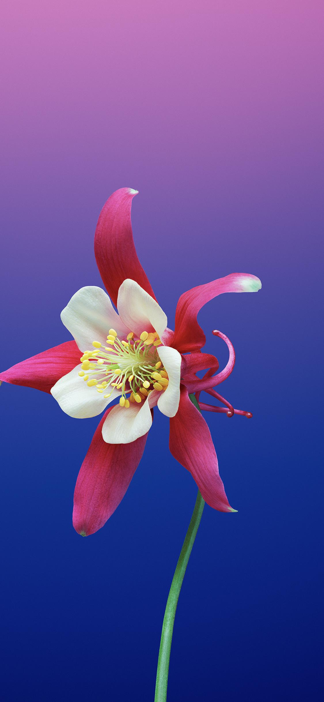 1125x2436 Ios 11 Flower Aquilegia Iphone Xsiphone 10iphone