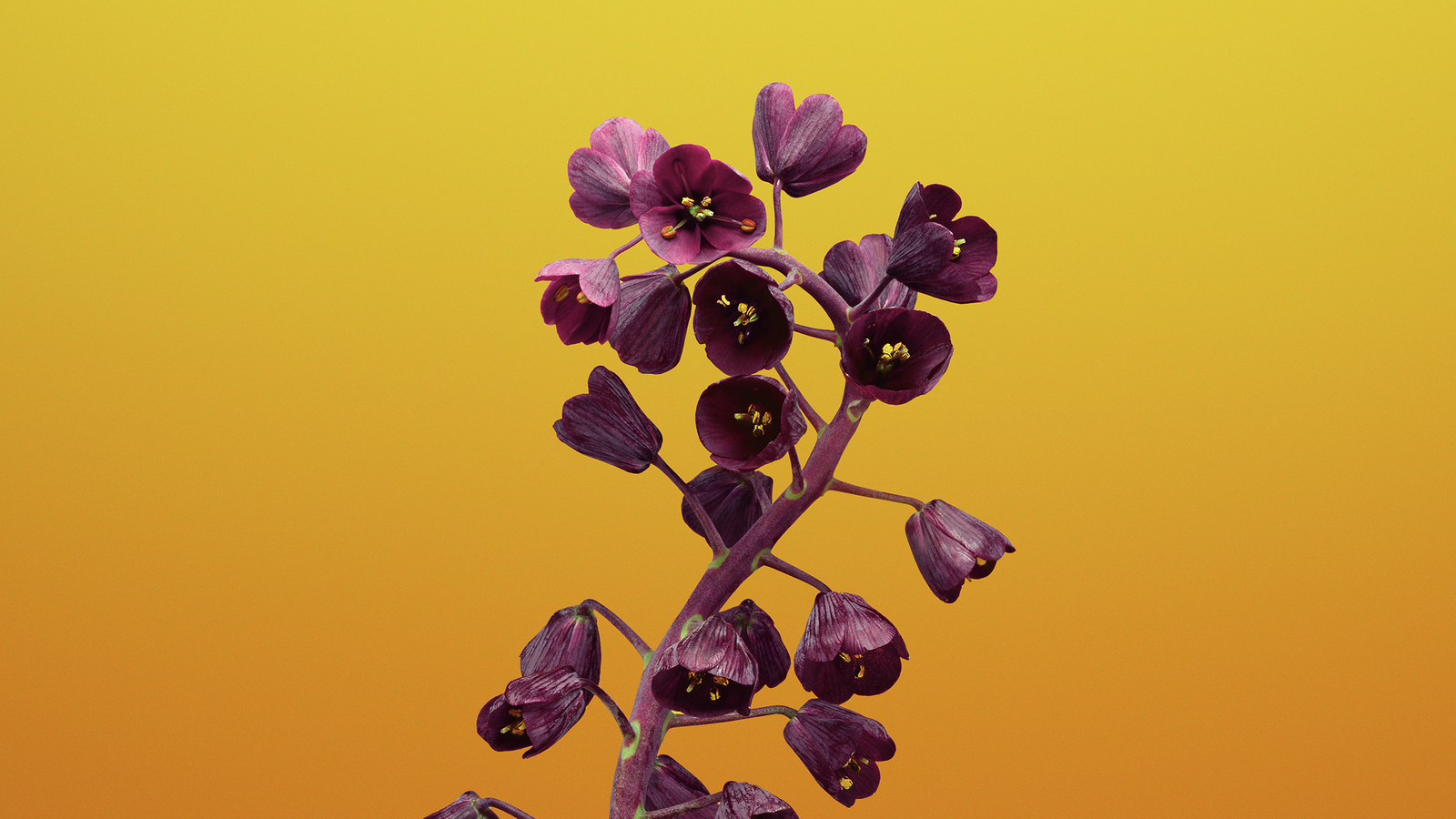 ios-11-flower-fritillaria-bb.jpg