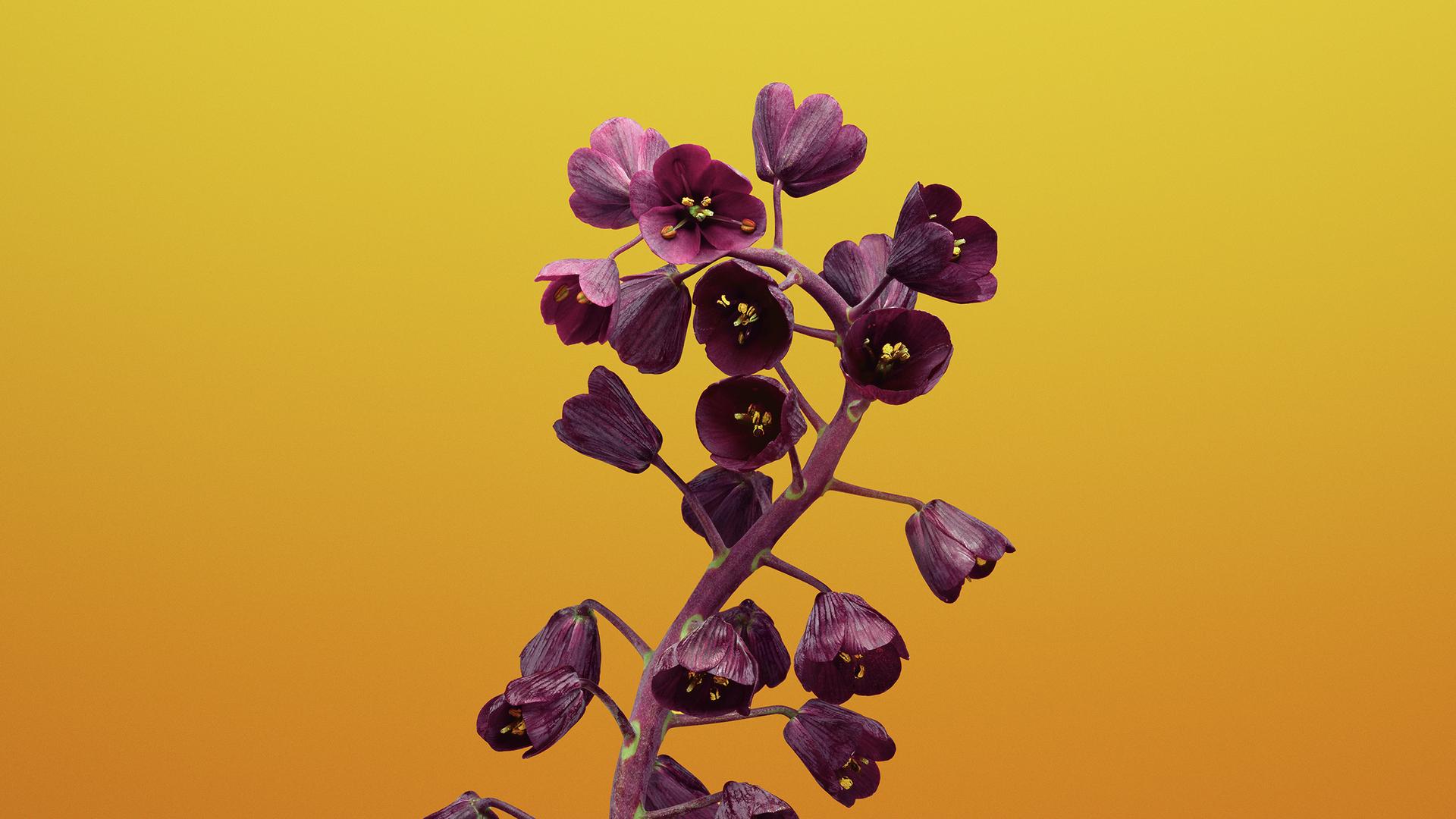 ios-11-flower-fritillaria-bb.jpg