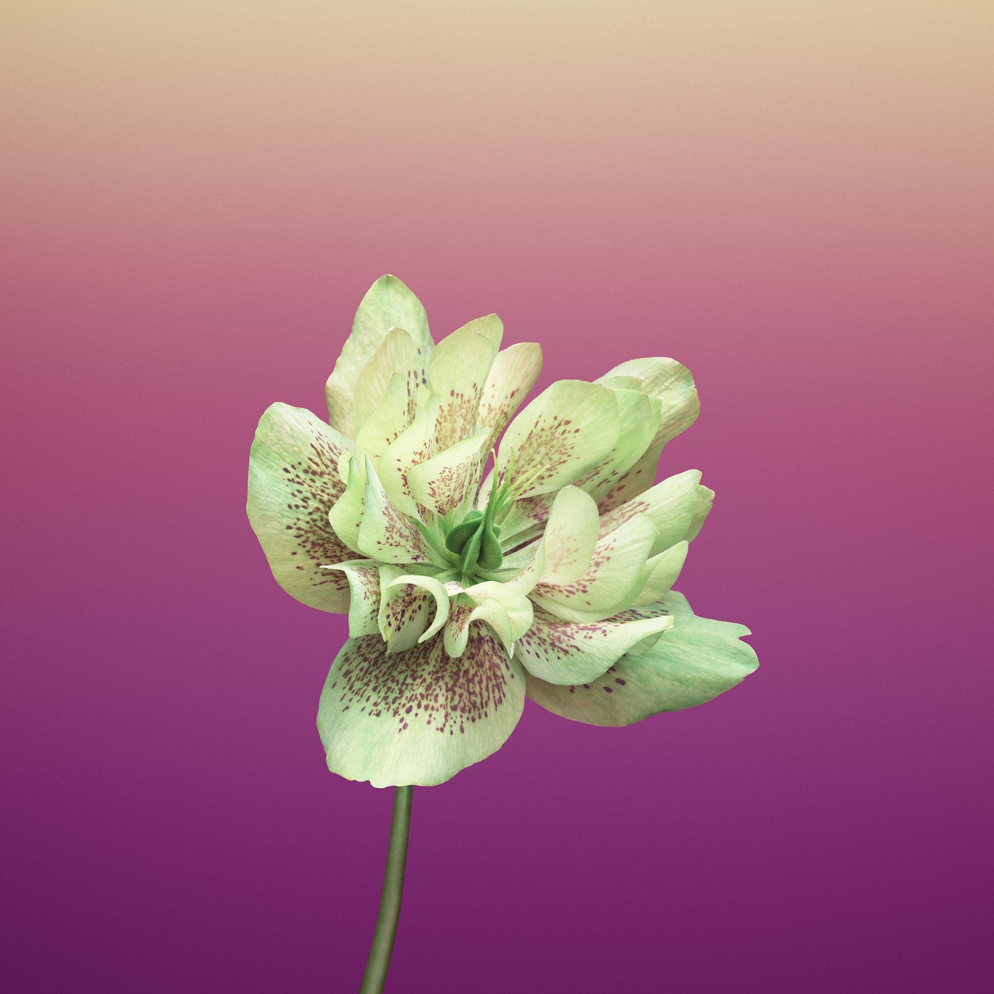 ios-11-flower-helleborus-7x.jpg