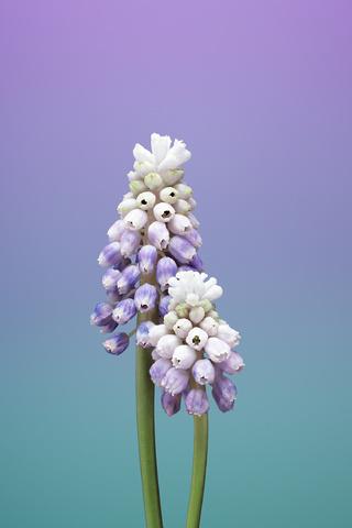 ios-11-flower-muscari-rh.jpg