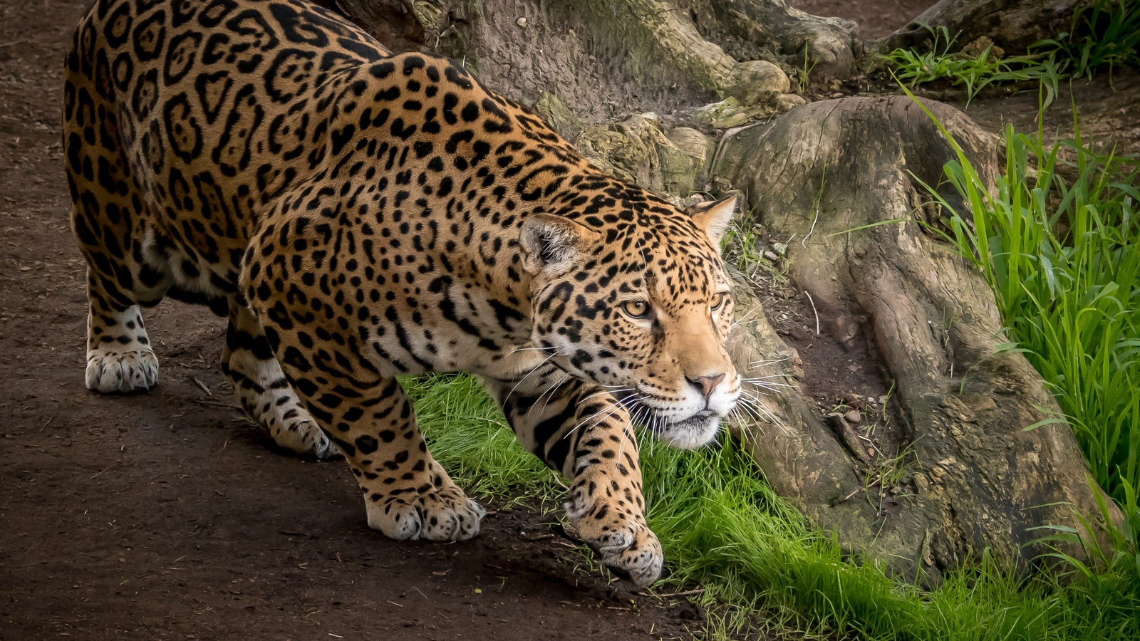 Wallpaper Cheetah Pair Hd Animals 6057: 1600x900 Jaguar Animal 1600x900 Resolution HD 4k