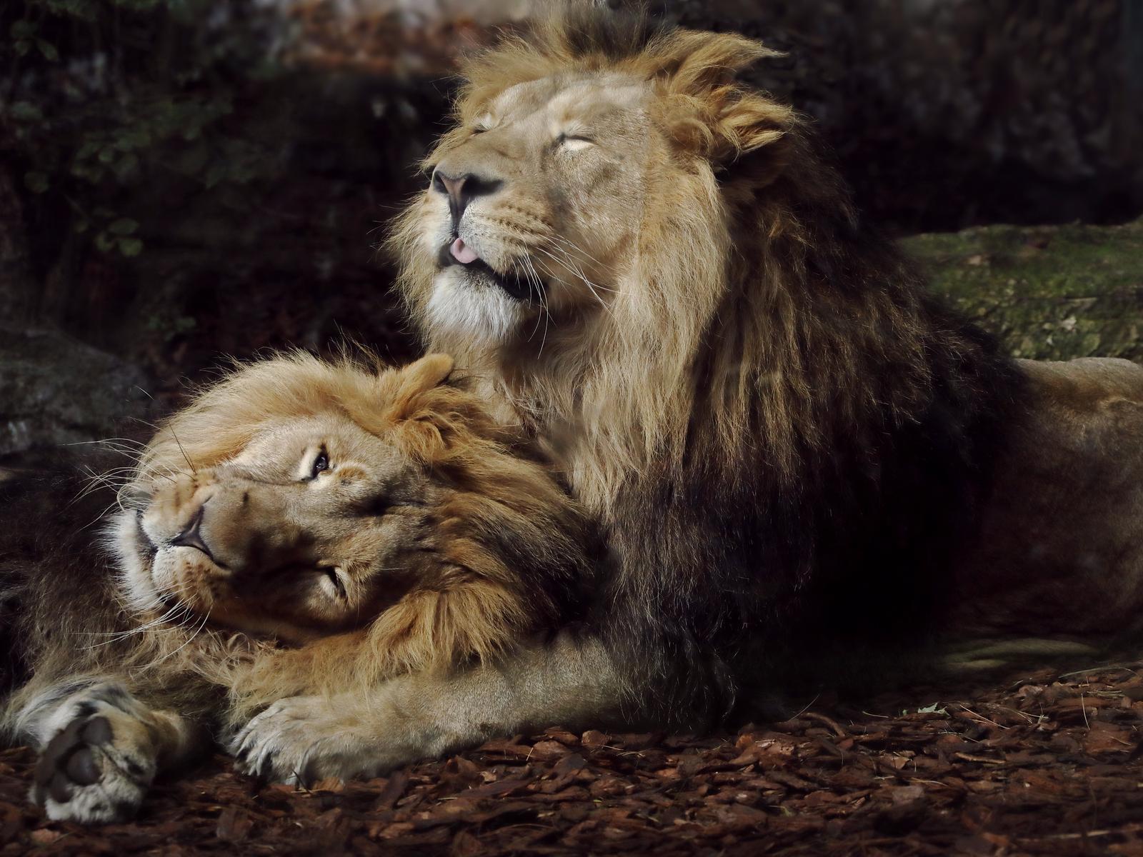 joyful-lions-lc.jpg