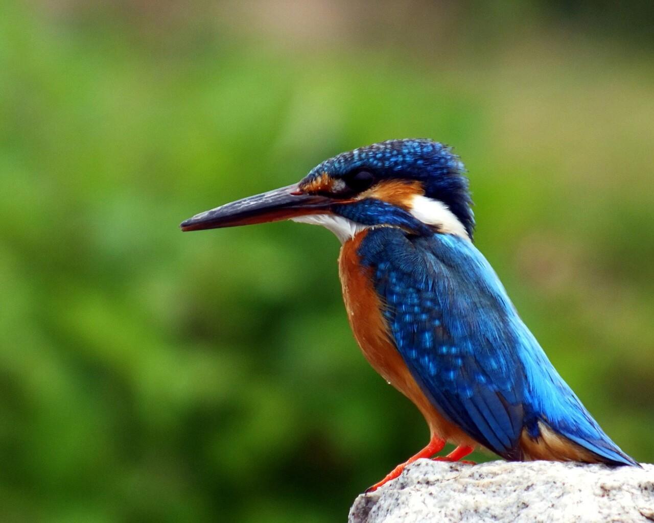 kingfisher-bird.jpg