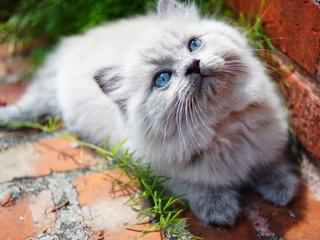 kitty-blue-eyes-5k-ly.jpg