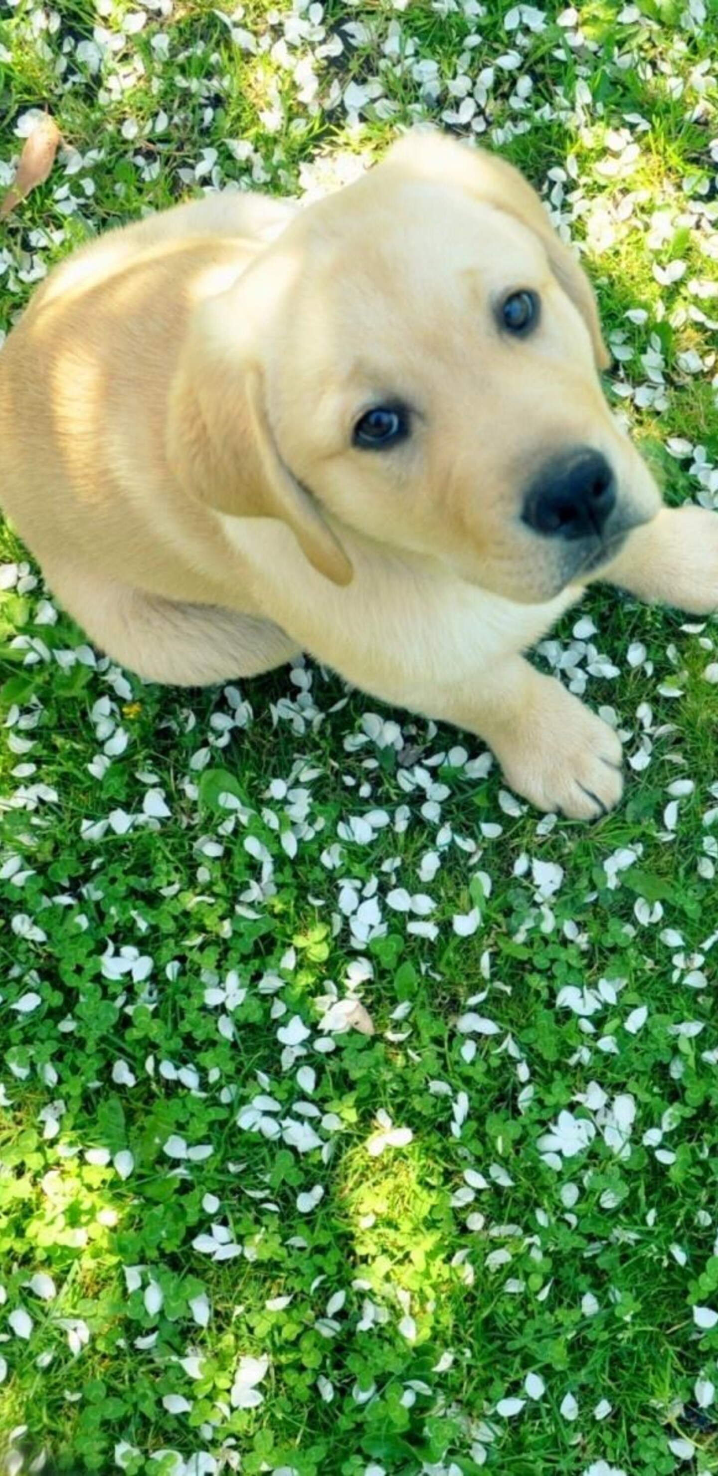 1440x2960 Labrador Puppy Samsung Galaxy Note 9 8 S9 S8 S8 Qhd Hd 4k Wallpapers Images Backgrounds Photos And Pictures