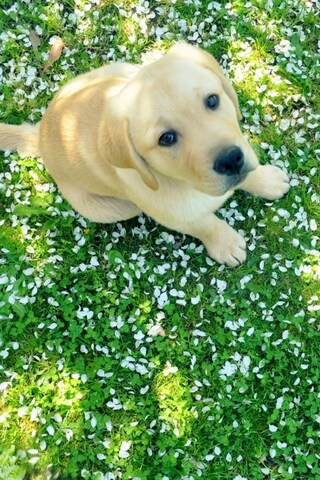 320x480 Labrador Puppy Apple Iphone Ipod Touch Galaxy Ace Hd 4k