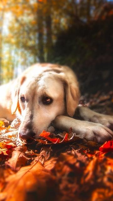 labrador-retriever-resting-mp.jpg