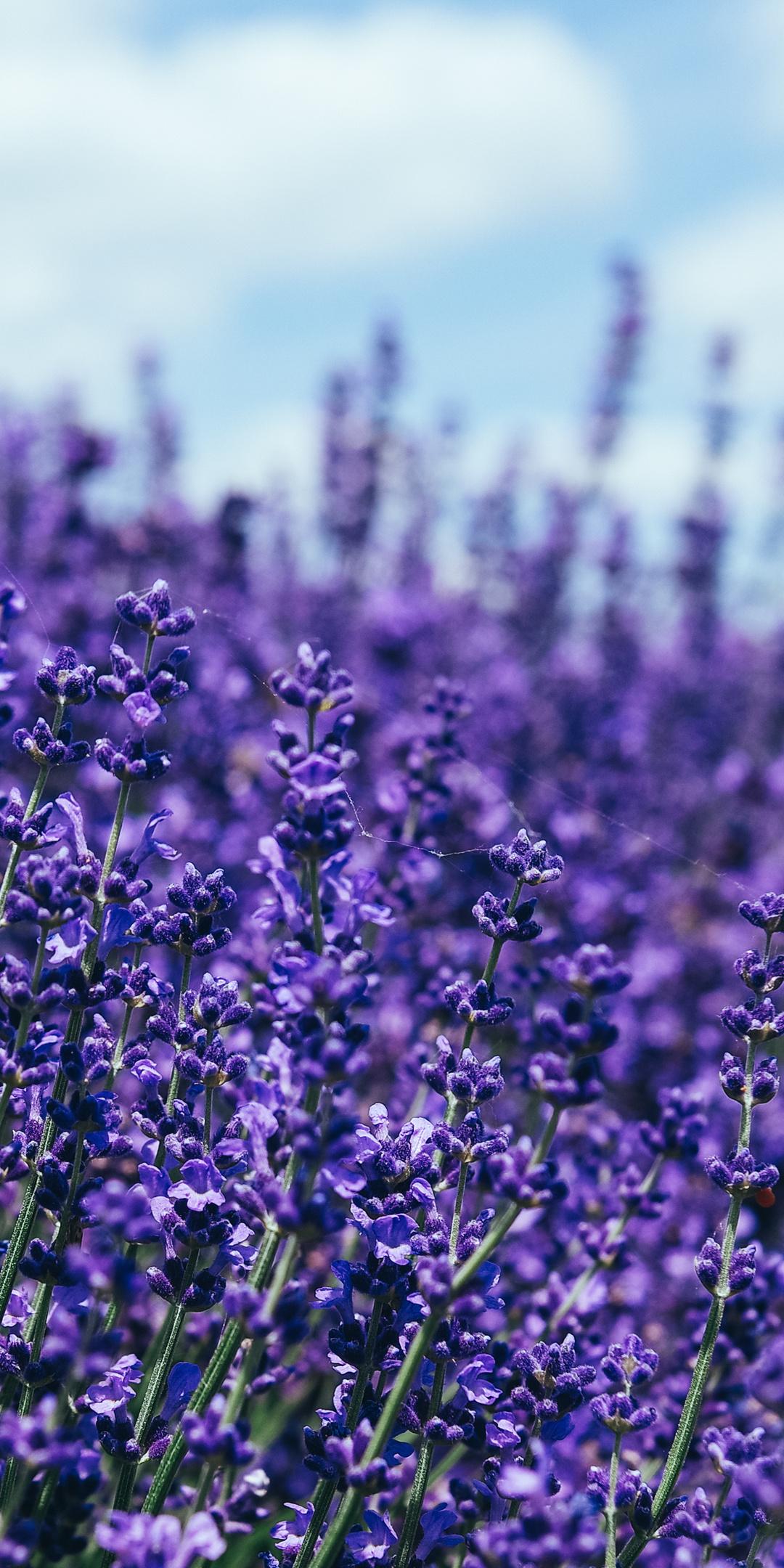 lavender-5k-m2.jpg