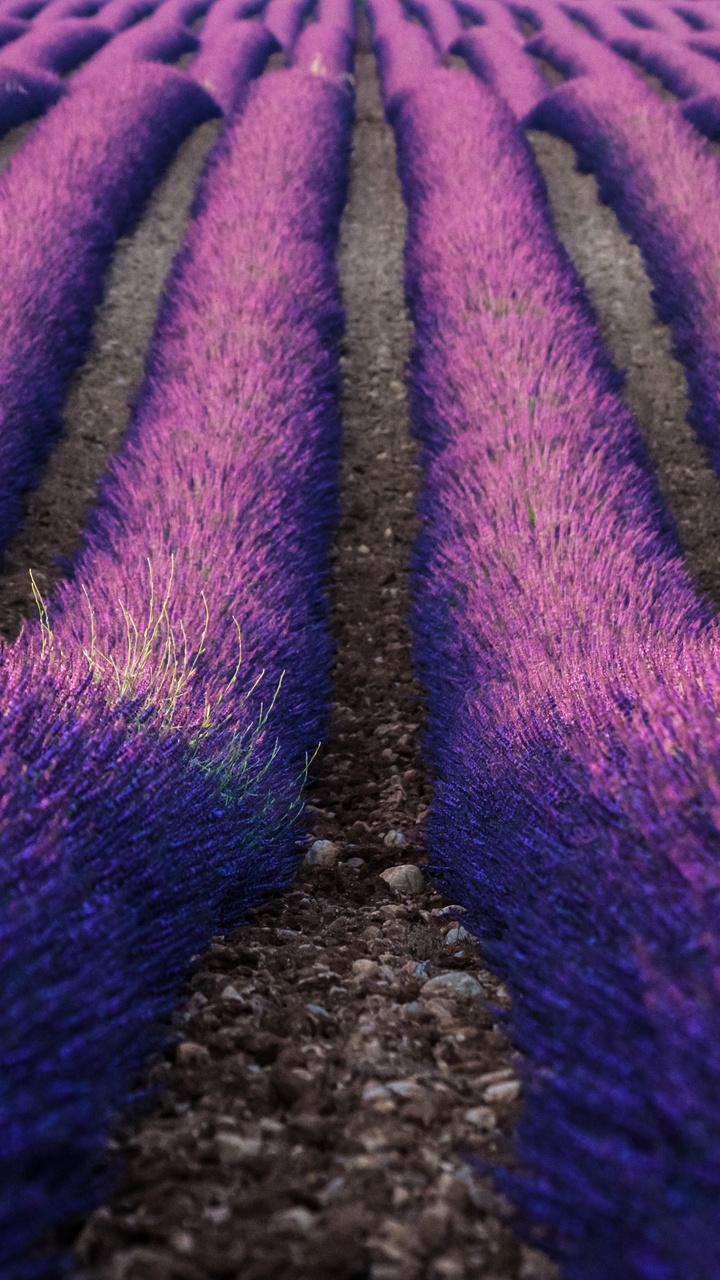 lavender-farm-5k-jn.jpg
