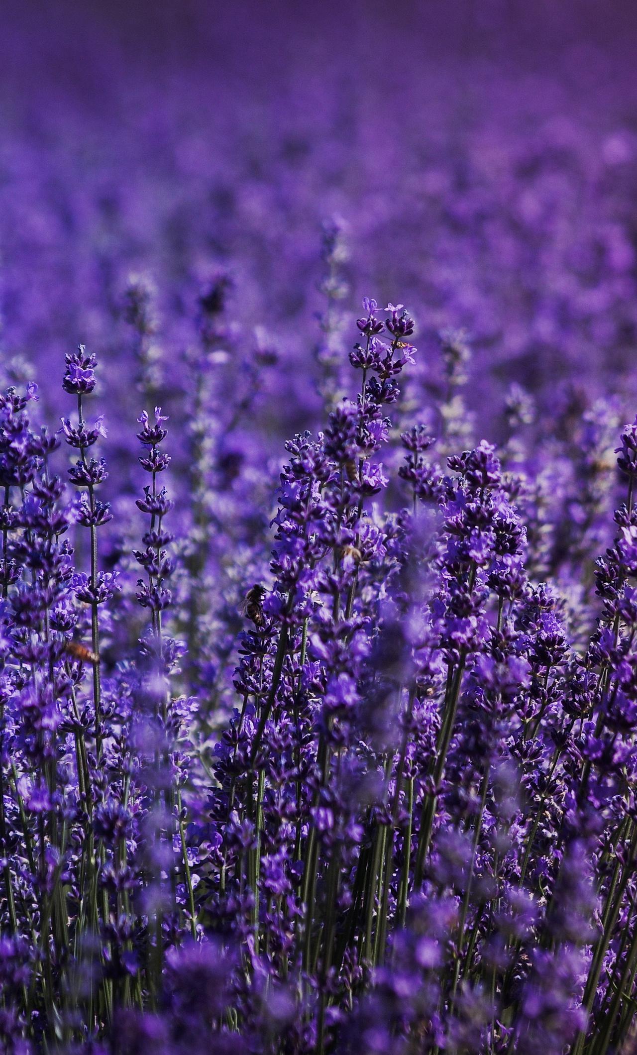 lavender-field-5k-dc.jpg