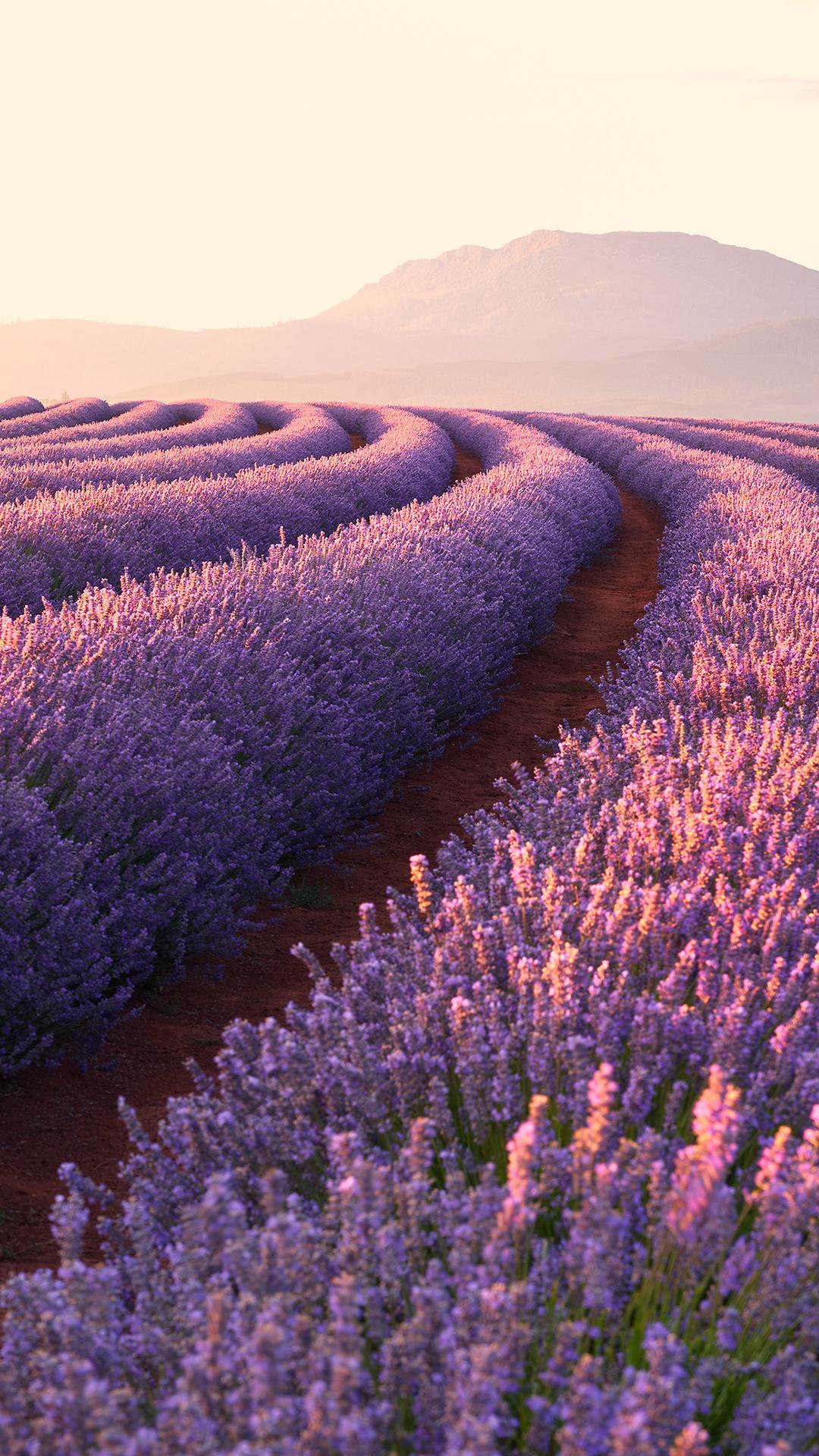 lavender-fields-1p.jpg