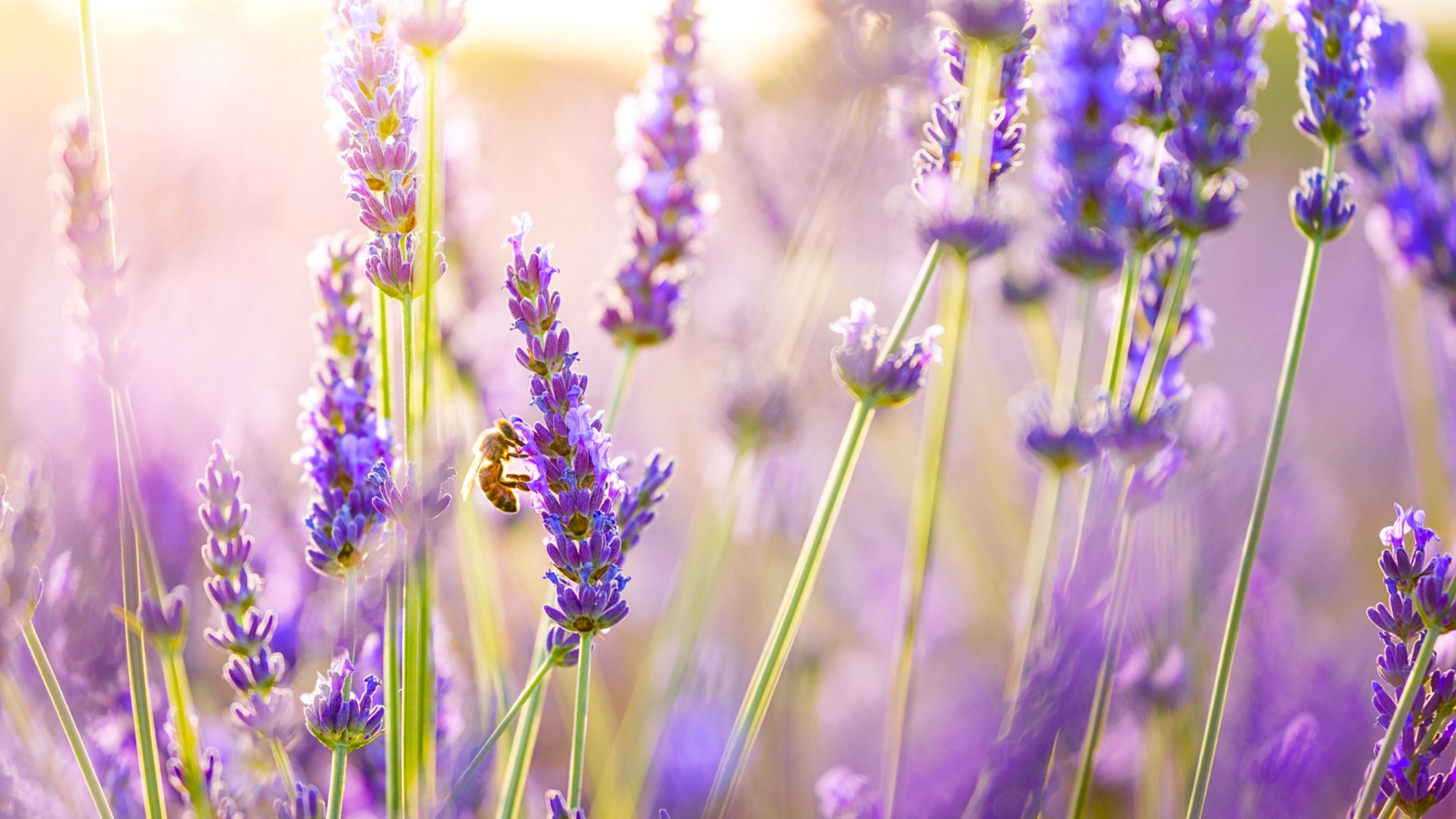 Цветы природа лаванда  № 1352111 бесплатно