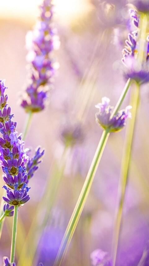 lavender-flowers.jpg