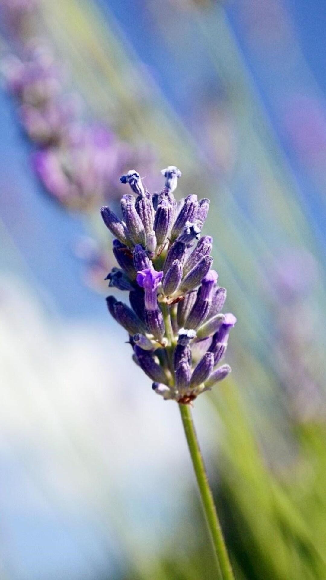 lavender-flowers-hd.jpg