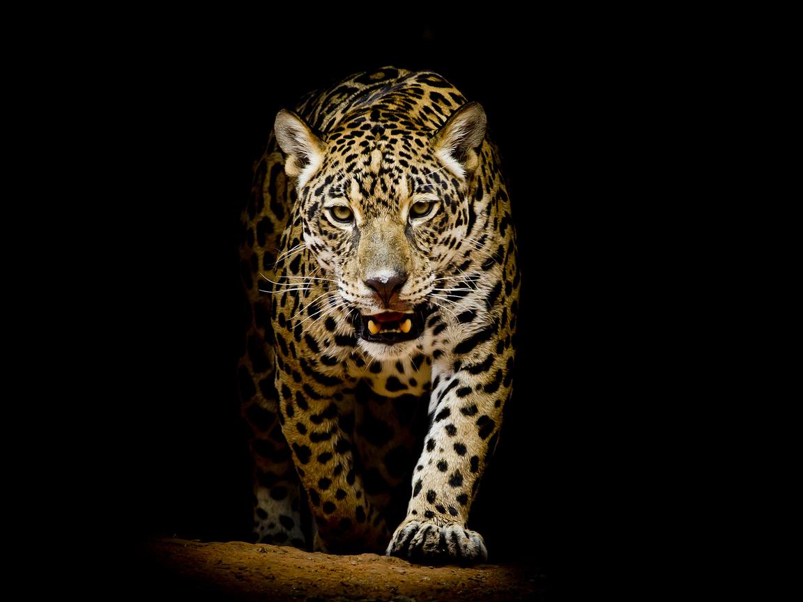 leopard-4k-black-background-kj.jpg