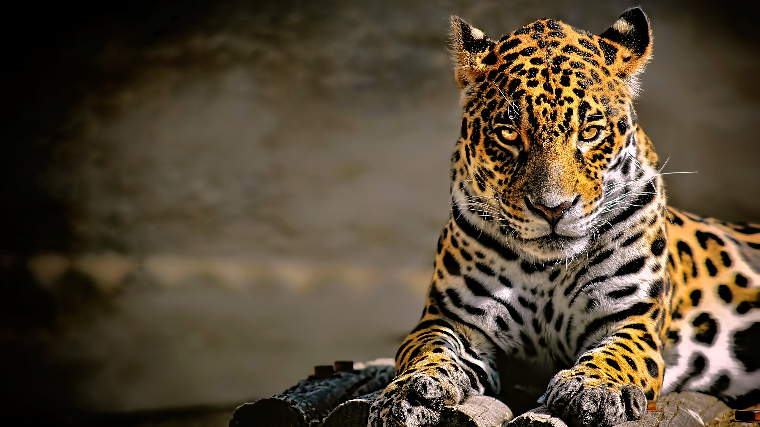 leopard-4k-glowing-eyes-kv.jpg