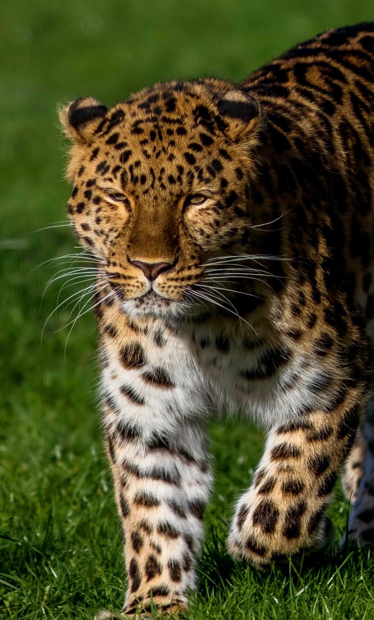 leopard-4k-pc.jpg