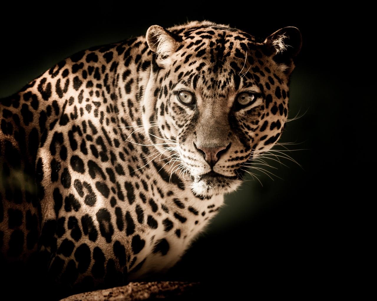 leopard-5k-2p.jpg